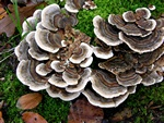 Many-zoned Polypore (Trametes versicolor)